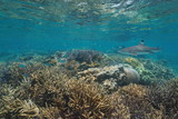 Healthy coral reef with a blacktip reef shark and a school of sergeant major fish in shallow water, Pacific ocean, New Caledonia, Oceania