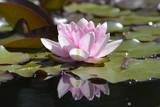 Rosa Seerose - 220578891