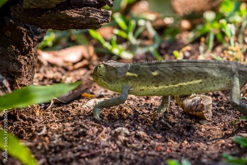 Kameleon próbuje uciec do bezpieczeństwa, Matopos, Zimbabwe