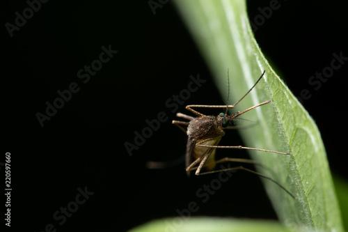 Background macro mosquito on leaf - 220597660