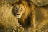 Wild African Lion in Tanzania - 220598201
