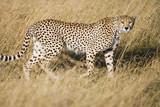 Wild African Cheetah hunting in savanna - 220598221