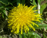 Fototapeta Puff-ball - Yellow flower © kamil