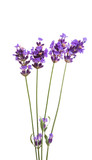 lavender flowers isolated - 220616051