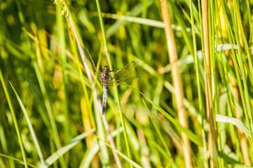 Libellula tra le canne di bambù © pergo70