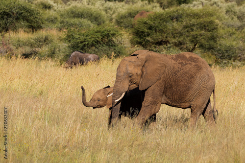 Mother and calf elephant out on a afternoon stroll in the long grass of the veld in the Pilanesberg national Park, South Africa
