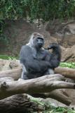 Gorila - 220633033