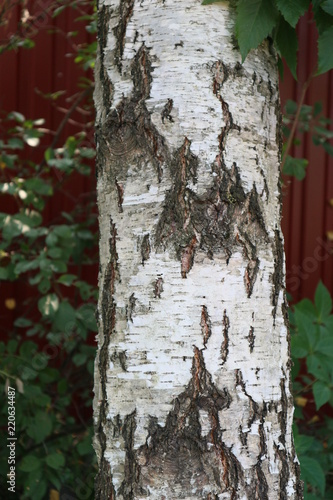 Birch bark texture - 220634487