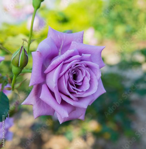 Blue Moon rose bloom