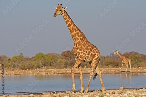 Fototapeta Giraffen (giraffa camelopardalis) am Wasserloch Klein-Namutoni im Etosha Nationalpark (Namibia)