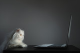 Curious White Persian cat is looking at the laptop screen - 220641284