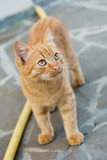 beauty ginger cat standing and looking up - 220642699