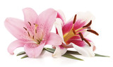 Two pink lilies.