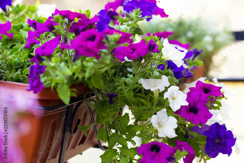 Close up of a colorful petunias plant
