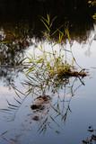 Schilf spiegelt sich im Wasser - 220664000