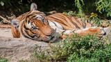 Tiger im Liegen - 220664289