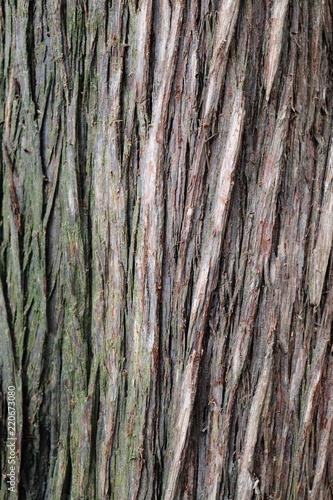 Platycladus orientalis - Morgenländischer Lebensbaum - 220673080
