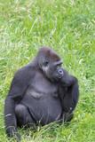 gorila - 220673410