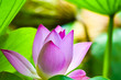 Leinwandbild Motiv beautiful Red or pink Lotus Flower or water lily growing in tropical thailand country with background nature,symbol of the Buddha and copy space.