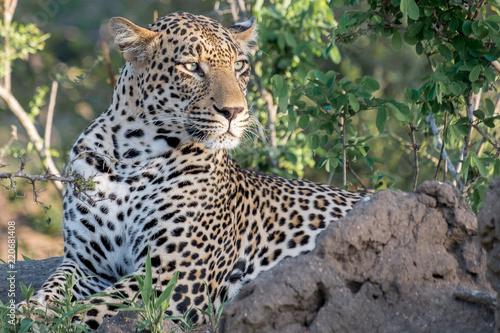 Wall mural Kruger Park Leopard