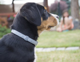 head greater swiss mountain dog puppy portrait sitting in the green grass, blurred girl sitting in background - 220683029