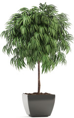 Ficus Alii tree in pot
