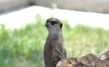 Beautiful Animal Surikat at the Zoo - 220695887