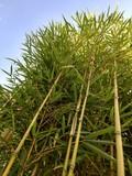 Fargesia Bambus von unten fotografiert