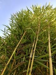 Fargesia Bambus von unten fotografiert © Daniela