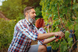 Picking Grapes From The Vine - 220713063