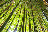 Bamboo garden. Bamboo forest natural green background