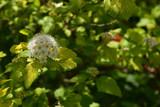 コデマリの花 - 220719831