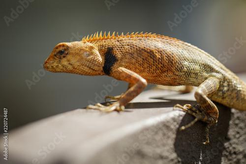 Wizerunek kameleon na naturalnym tle. Gad. Zwierzę.