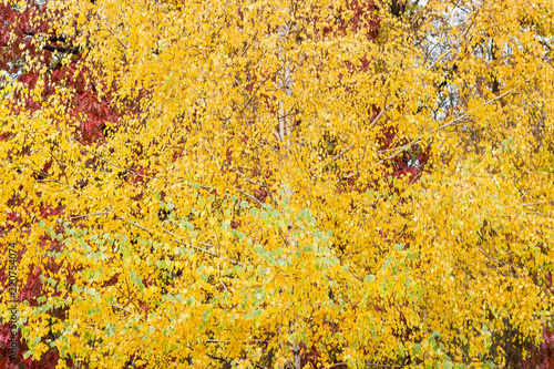 Fototapeta Background of the birch tree with autumn leaves