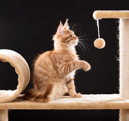 Maine Coon kitten © 2002lubava1981