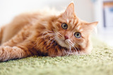 Portrait of a funny beautiful red fluffy cat with green eyes in the interior, pets - 220757428