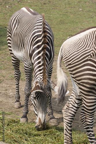 Fototapeta Zebra outdoors in nature.