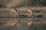 Impala males drinking with nice reflection - 220779617