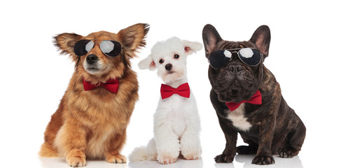 three stylish dogs of different breeds wearing sunglasses and bowties © Viorel Sima
