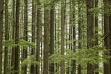 green tree coniferous forest - 220787625
