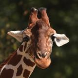 Reticulated giraffe (Giraffa camelopardalis reticulata) - 220804233