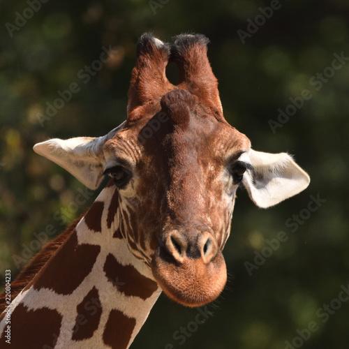 Fototapeta Reticulated giraffe (Giraffa camelopardalis reticulata)