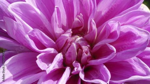 Pink garden dahlia