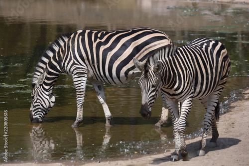 Fototapeta Drinking Chapman's zebra (Equus quagga chapmani)