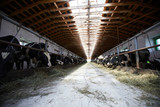 Wide angle view at rustic cowshed with rows of cows eating hay at each side, copy space - 220813600