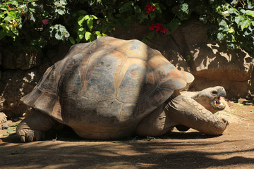 Galapagos-Riesenschildkröte (Chelonoidis nigra)