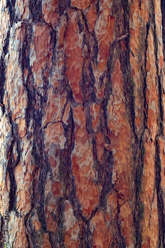 Pine bark as a texture - 220825660