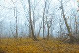 Mystic foggy forest with yellow and orange colored leaves. - 220826083