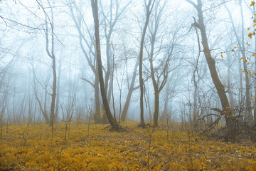 Mystic foggy forest with yellow and orange colored leaves. © robsonphoto