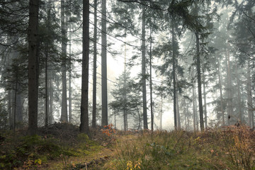 Beautiful morning misty forest tree landscape.  © robsonphoto